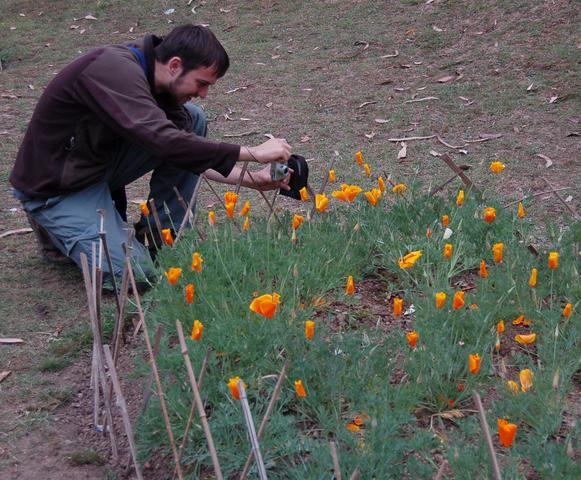 Willy photographs California poppies at Lloyd Botanical Gardens
