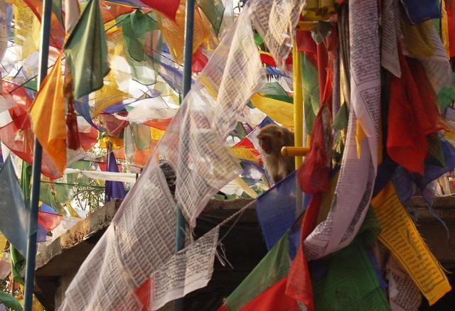 Temple monkey in prayer flags