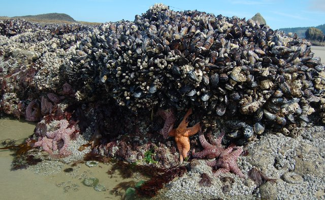 Starfish and muscles on Agate Beach