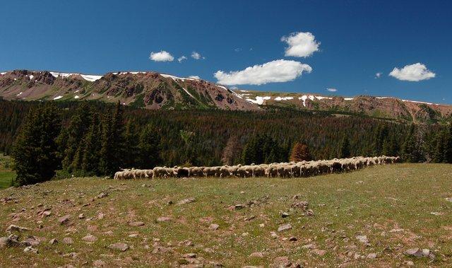 Flock of sheep in Henrys Fork Basin
