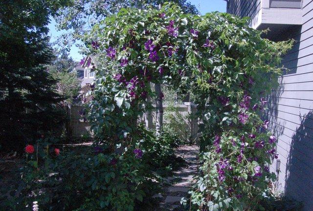 Blooming vine on trellis in garden