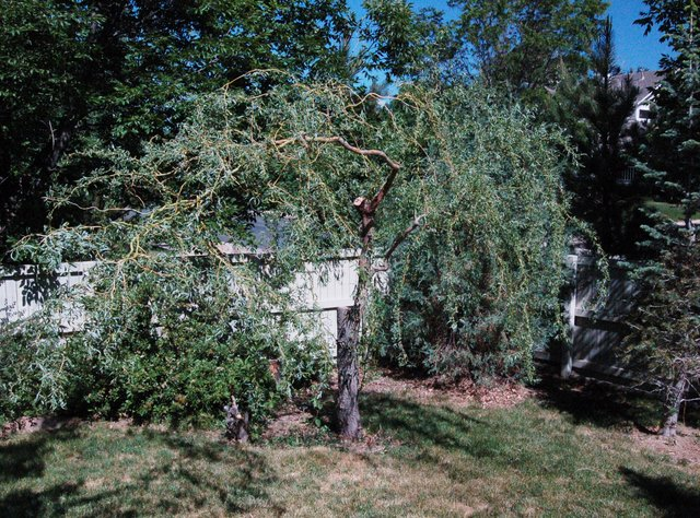 Twisted willow in yard