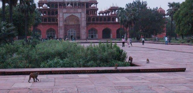 Marauding monkey family at Akbar's tomb