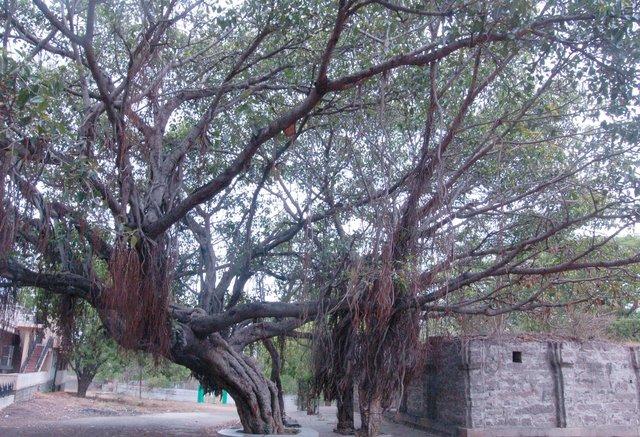 Banyan tree at the Qutb Shahi tombs