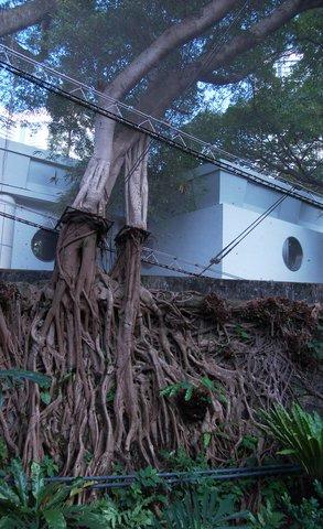 Banyan tree growing through the aviary at Hong Kong Park