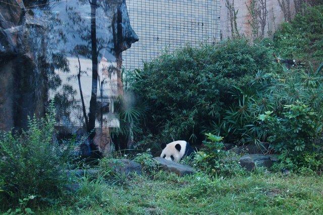 Giant panda lounging in the Taipei Zoo