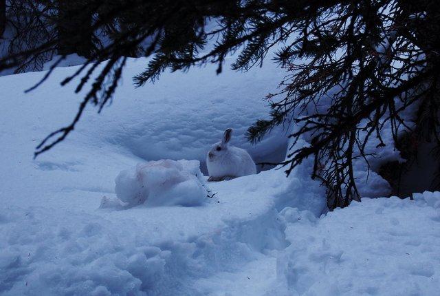 White rabbit near the CMC ski trail