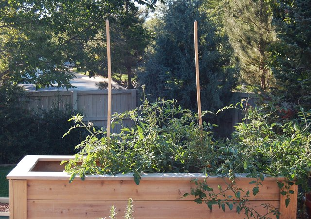 Tomatoes growing in planter beds