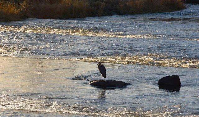 Water bird in Mill Creek