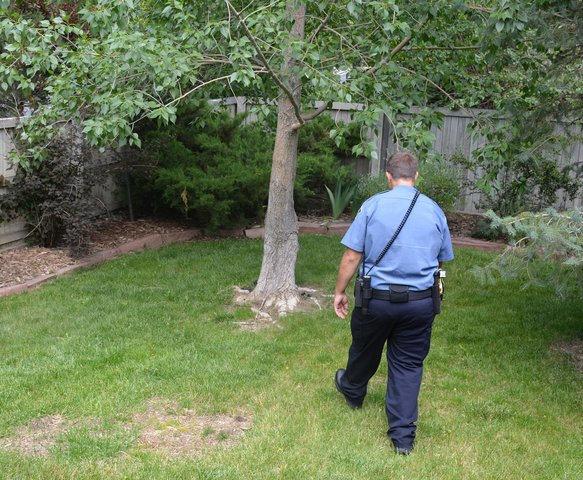 Animal control attempts to apprehend a rogue peahen
