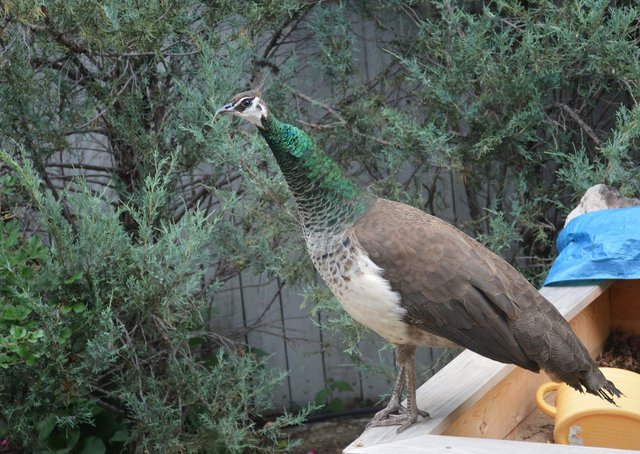 Indian peahen sits on the sandbox