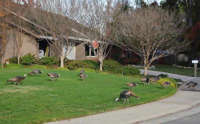 Live feral turkeys marauding in suburban Sacramento