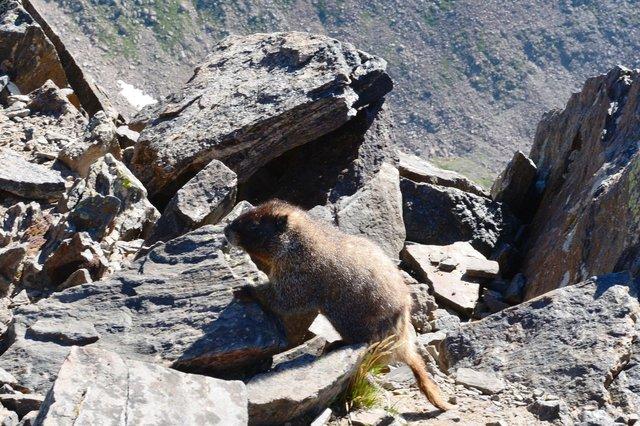 Marmot on the summit of Ypsilon Mountain