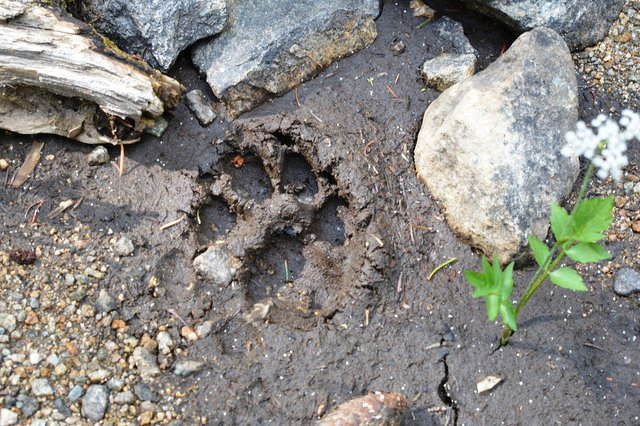 Mountain lion print in the upper St. Vrain Valley