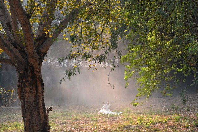 White tiger at National Zoological Gardens, Delhi