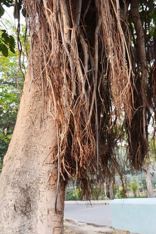 Banyan tree growing an electrical cord