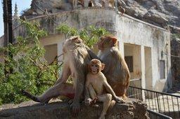 Rhesus macaque monkey family at Galta-ji