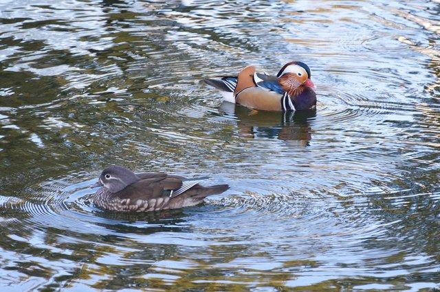 Mandarin ducks swimming in the garden pond