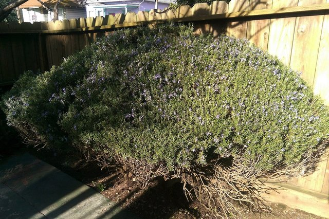 Back yard rosemary shrub