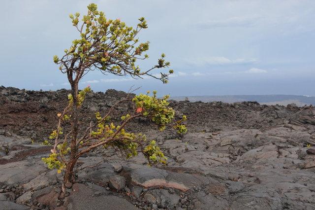 Ohia lehua growing in lava above the ocean
