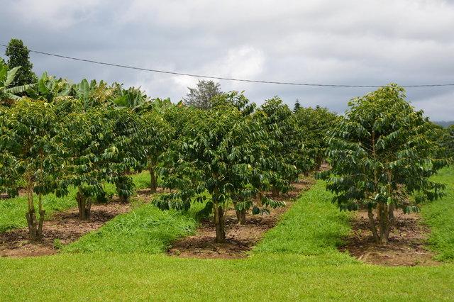 Ka'u coffee trees