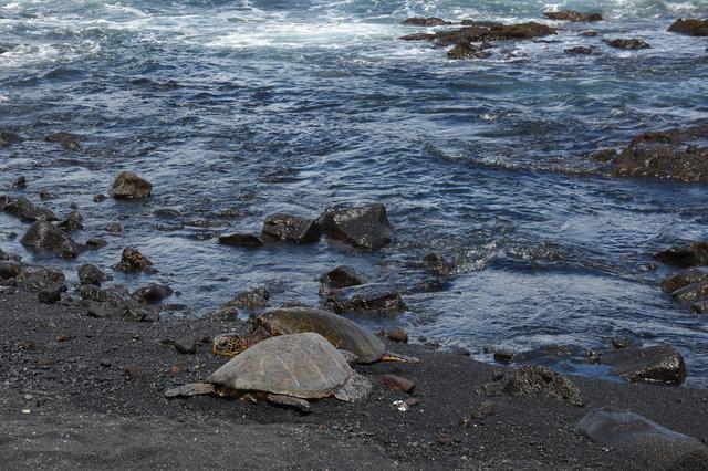 Sea turtles on Punalu'u Black Sand Beach