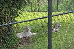 Bengal tigers Tzatiki and Siracha at the Panaewa Rainforest Zoo