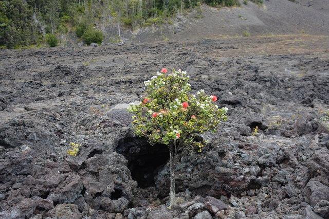 Ohia lehua growing in Kilauea Iki Crater
