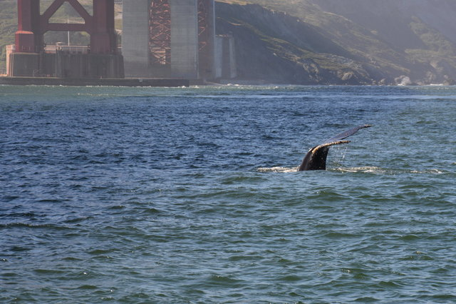 Humpback whale fluke dive in front of the Golden Gate Bridge