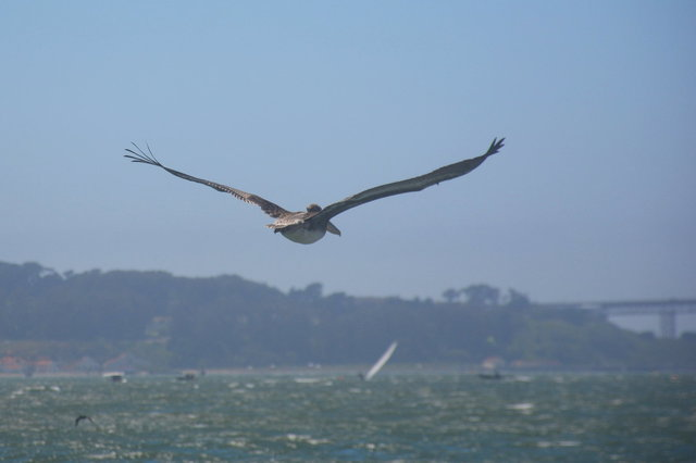 Some sort of pelican flying in San Francisco Bay