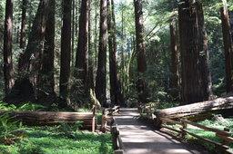 Path through redwood trees in Muir Woods