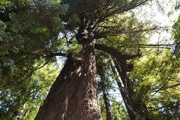 Redwood tree in Pfeiffer Big Sur State Park