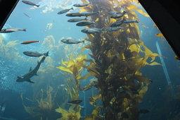 Kelp forest at the Montery Bay Aquarium