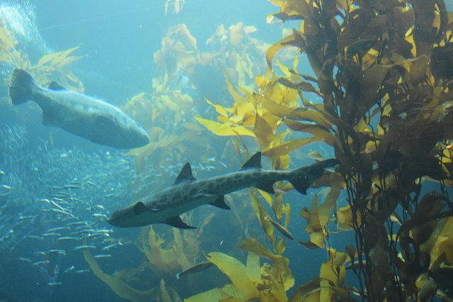 Lepoard shark in the kelp forest