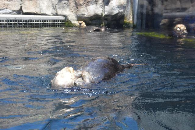 Sea otters swimming at the Monterey Bay Aquarium