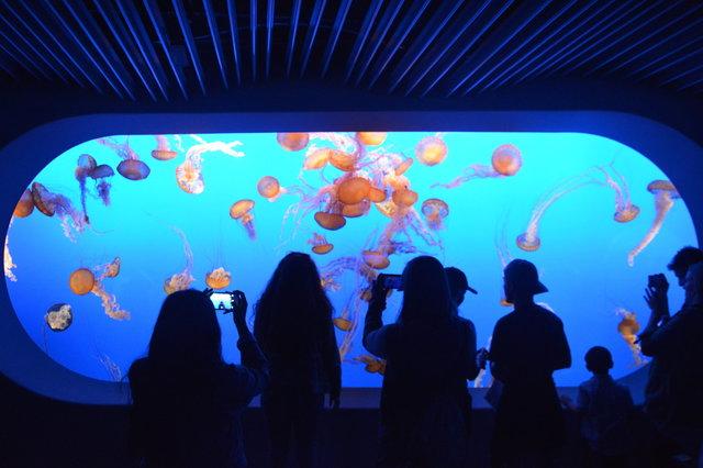 Sea nettle jellyfish at the Monterey Bay Aquarium