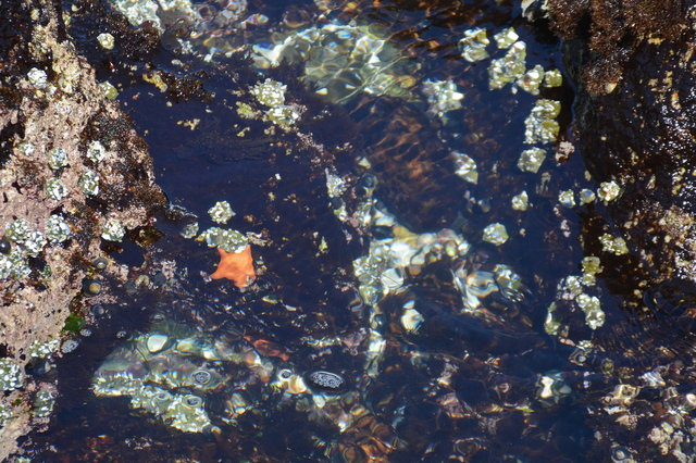 Starfish in a tiny tide pool