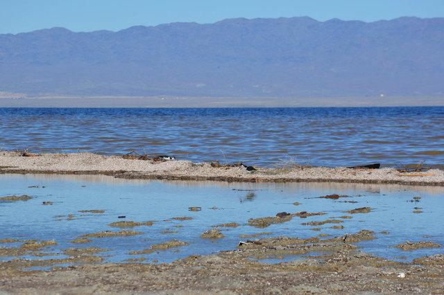Black-necked Stilts on the shore of the Salton Sea