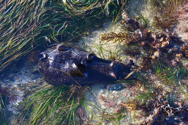 Sea slug at the La Jolla Tide Pools