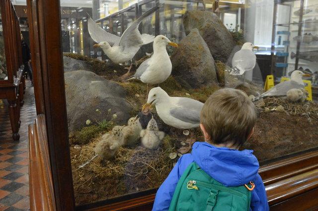 Julian looks at a seagull diaorama