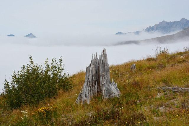 Stump on Johnston Ridge