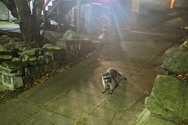 Raccoon in a driveway in Wallingford