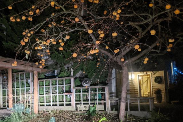 Raccoon eating persimmons in Wallingford