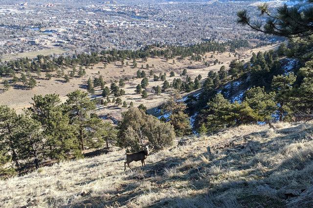 Mule deer on Mount Sanitas