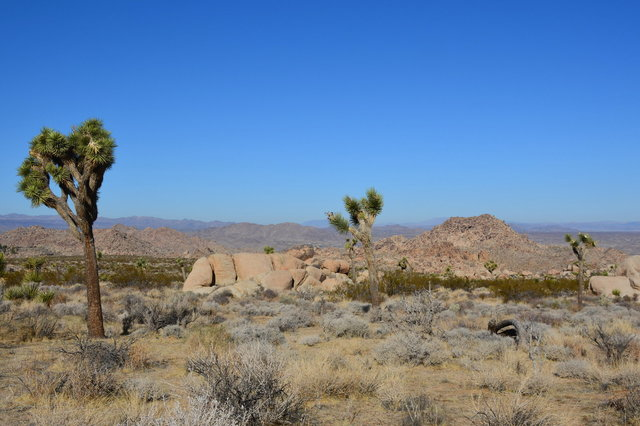 Joshua Trees on the North Canyon Trail