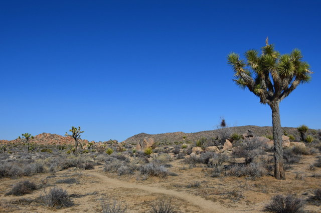 Joshua Trees on the Maze Loop Trail