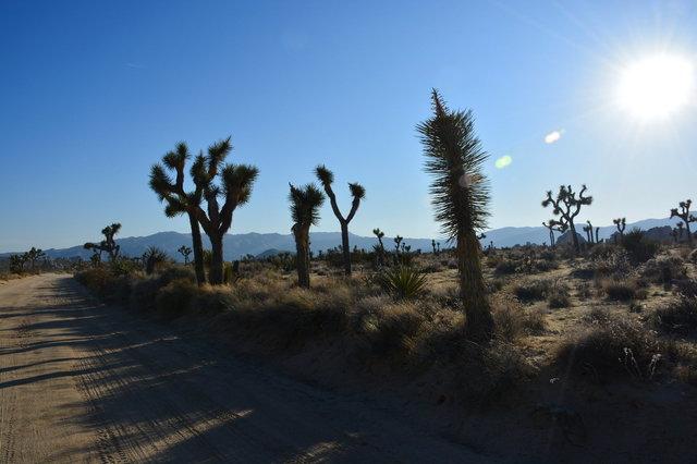 Sun shining on Joshua trees on Geology Tour Road