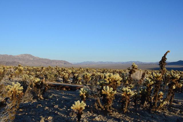 Cholla cactus garden and Pinto Basin beyond