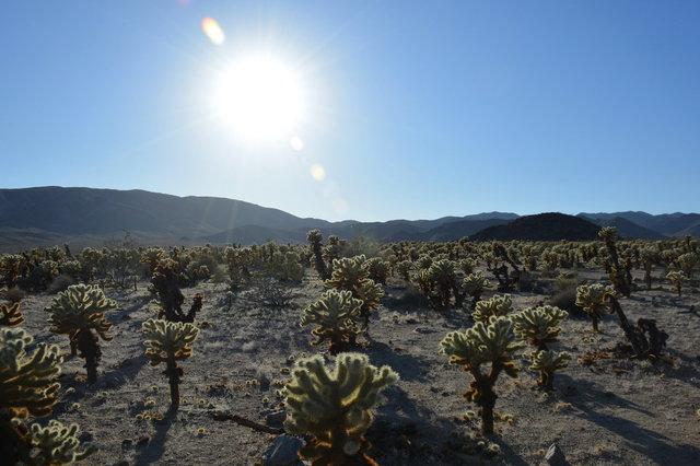 Sun over cholla cactus garden