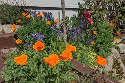 California poppies growing in Wallingford